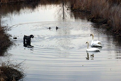 Dog, Ducks and Swans, Humber Bay Park