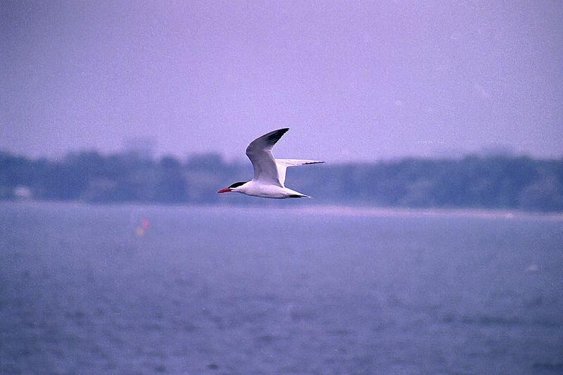 Black-Capped Tern, Col. Samuel Smith Park