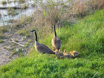 Canada Goose Family, Humber Bay Park