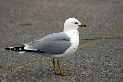 Ring-Billed Gull, Humber Bay Park