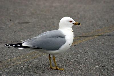 Ring-Billed Gull, Humber Bay Park