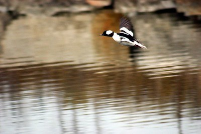 Hooded Merganser, Humber Bay Park