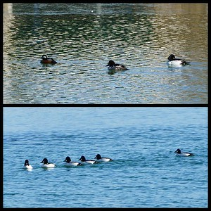 Merganser and Buffleheads