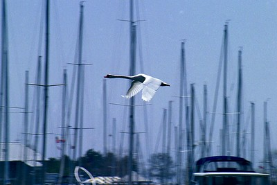 Mute Swan In Flight, Mimico Marina