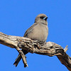 Wood Swallow; their furry feathers make photographs look out of focus.