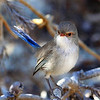 Female Splendid Fairy Wren. This little lady came to investigate when I'd done my early morning shoot and had settled down for breakfast. It pays to keep your camera handy at all times. I particularly like the colour tones in this shot.