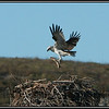 Osprey adding to his stack on the Montebello Islands.