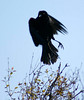 I shot over 100 images of Red Winged Black Birds and only a few were in focus. Is it the black?