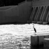 Blue Heron hanging out at the dam.