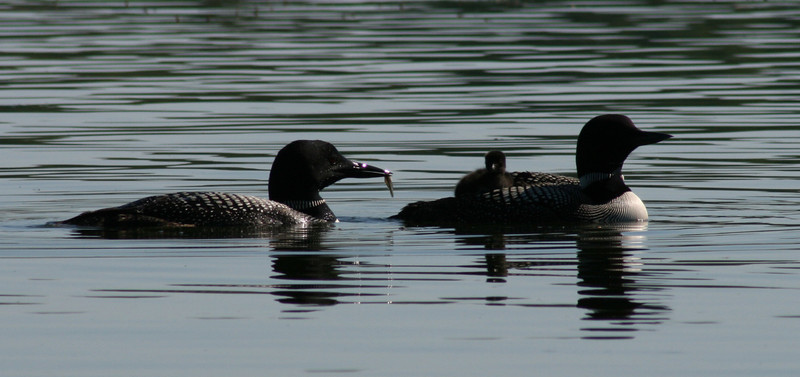 This Loon family is having a snack.