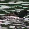Common Loon with a baby on its back, how sweet!