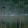 Blue Heron headed for the dam.
