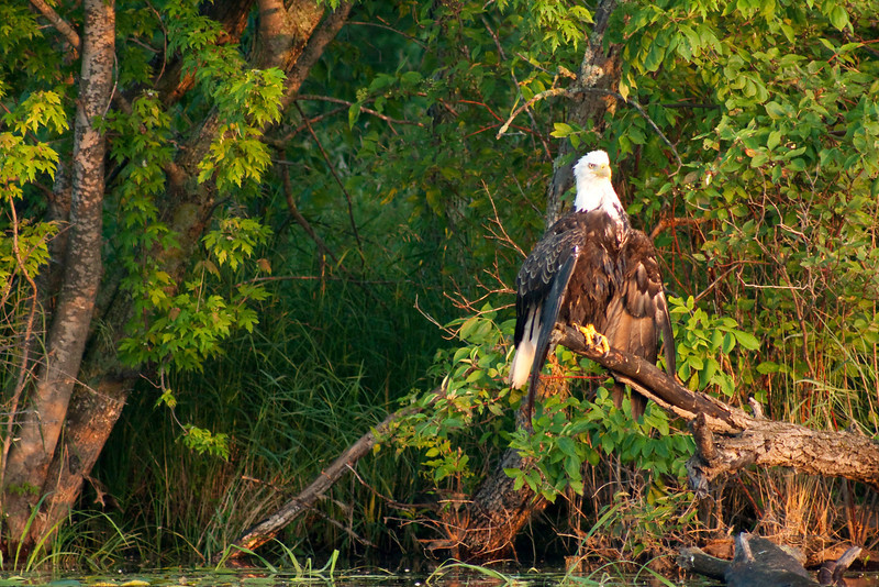This Bald Eagle must have took a dive for its breakfast, and was drying its feathers in the morning sun.