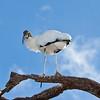 Wood Stork in Florida