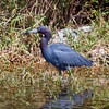 Little Blue Heron in the Everglades, Juvenile