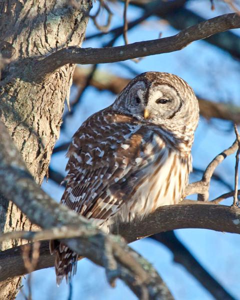 Barred Owl on Skyline Drive