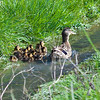 WoodstockDucklings