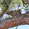 Northern Bobwhite in Tree