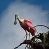 Roseate Spoonbill, Florida