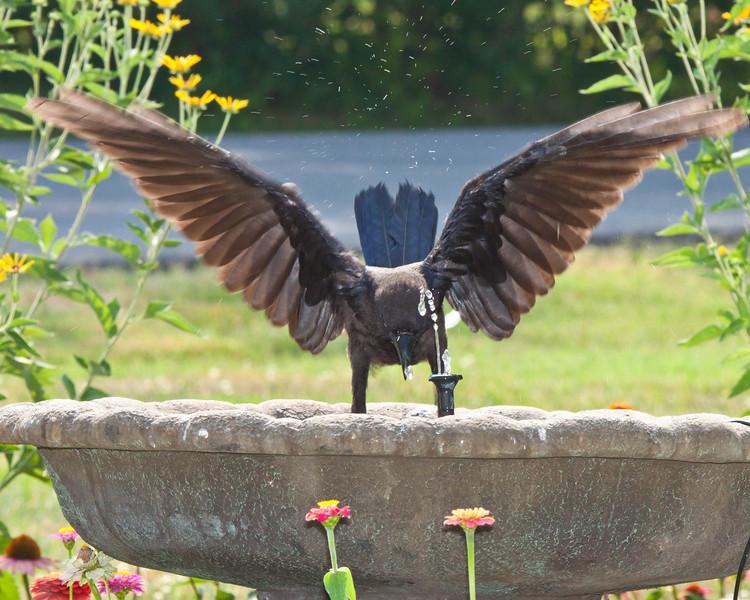 Bird enjoying Bath