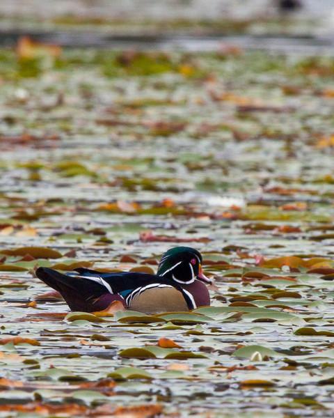 Wood duck on lake near Blue Ridge Parkway