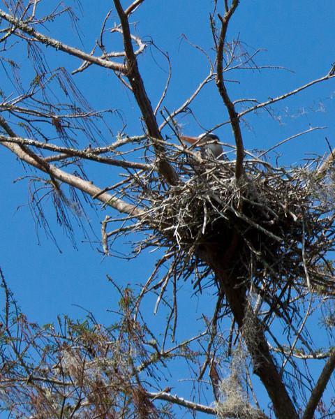 Great Blue Heron on nest, Wekiva River State Park, Florida