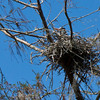 Great Blue Heron on nest, Wekiva River State Park, Florida