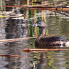 Pied-billed Grebe in the Everglades