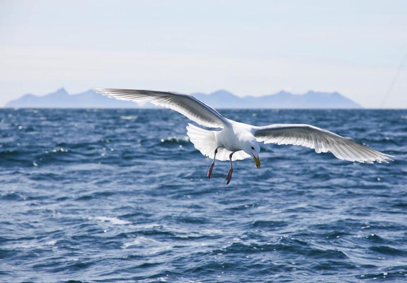 Gull near Homer, Alaska