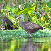 Limpkin, Wekiva River State Park, Florida