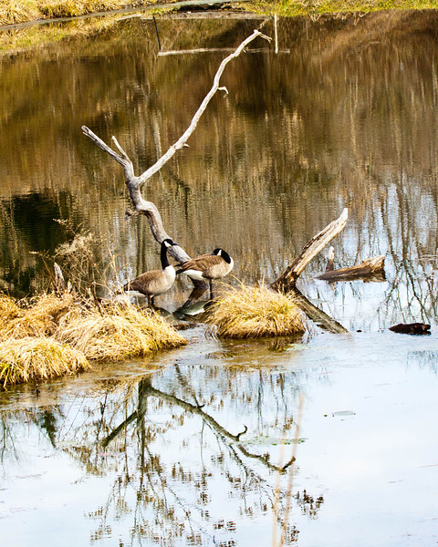 Canadian Geese on pond