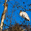Wood Stork in the Everglades of Florida