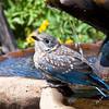 Eastern Bluebird Juvenile