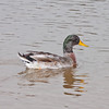 Mallard Duck, Drake, on Pond in Pennsylvania