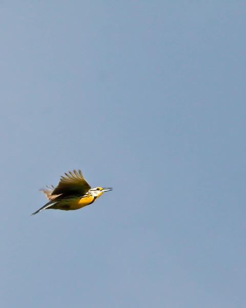 Meadowlark in flight