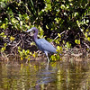 Little Blue Heron in the Everglades