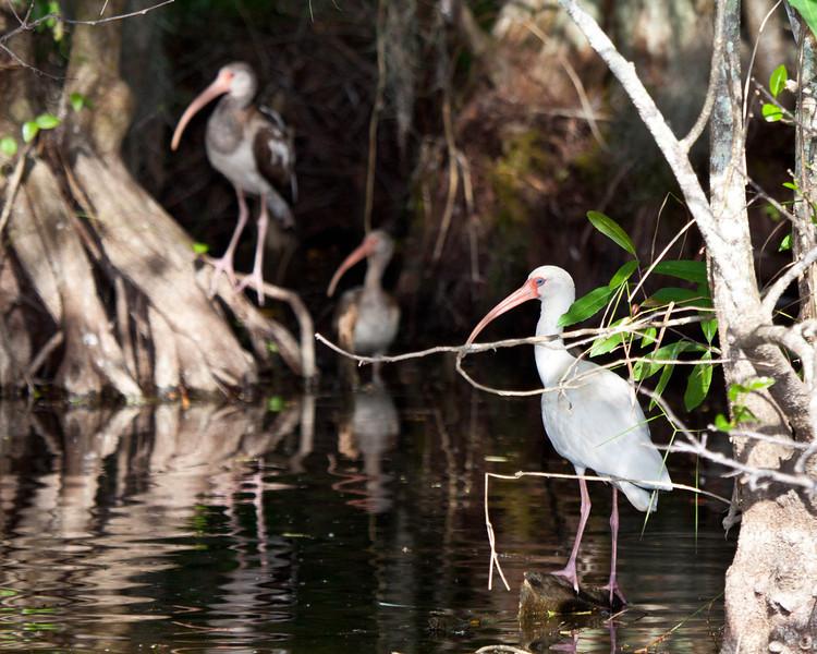 White Ibis in the Everglades of Florida,