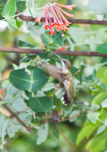 Hummingbird1292