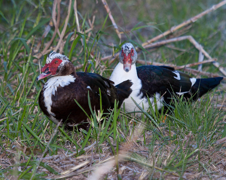 Muscovy Duck, Everglades of Florida