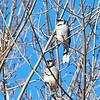 Blue Jay pair
