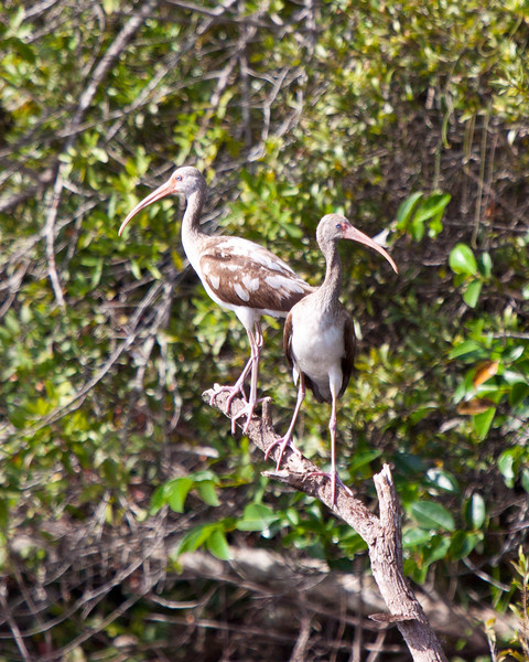White Ibis in the Everglades of Florida, Juvenile