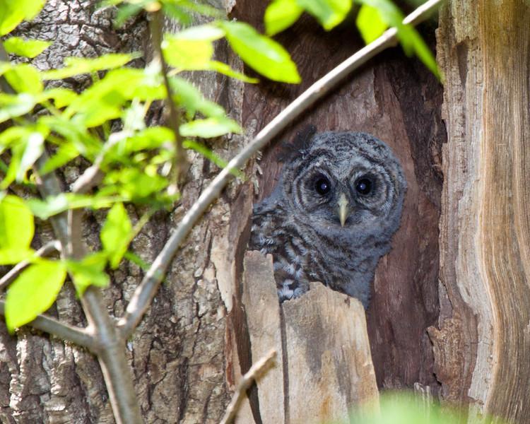 Barred owl, Juvenile on Skyline Drive, Virginia