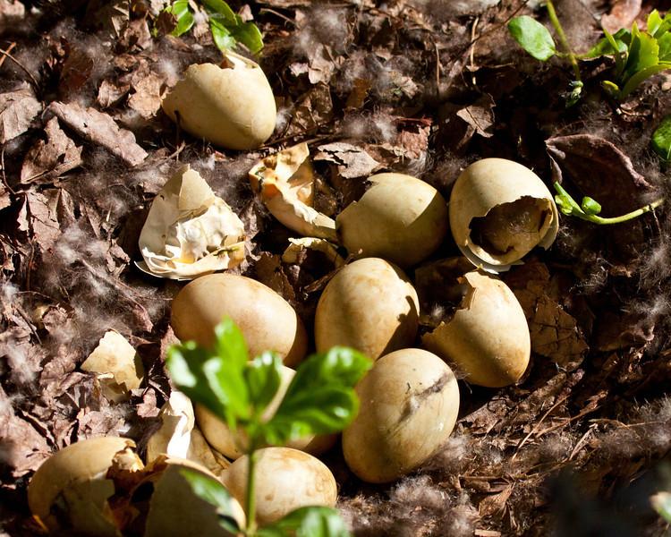 Mallard duck eggs