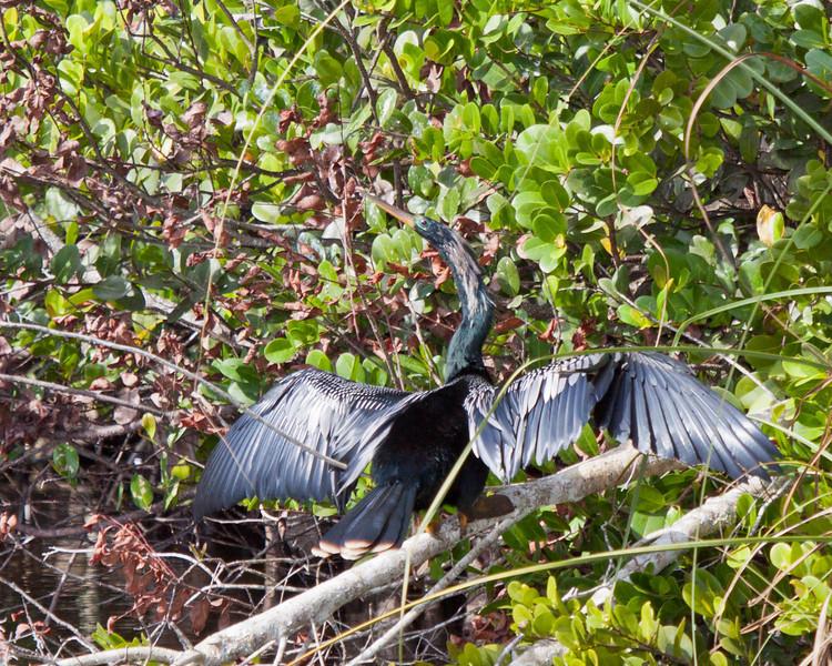 Anhinga in the Florida Everglades