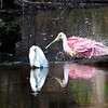 Roseate Spoonbill and Snowy Egret,Florida