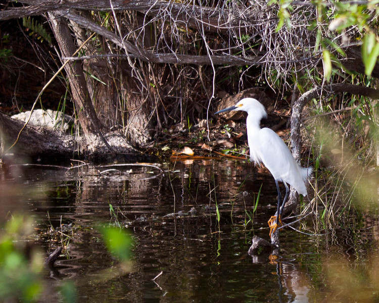 Snowy Egret in the Everglades
