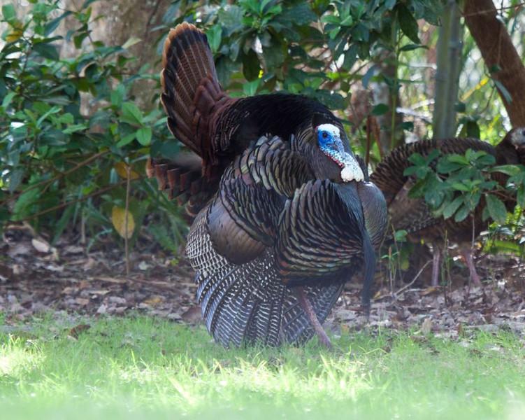 Wild Turkey strutting in Florida along Wekiva River