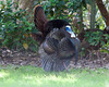 Wild Turkey strutting in Florida along Wekiva River