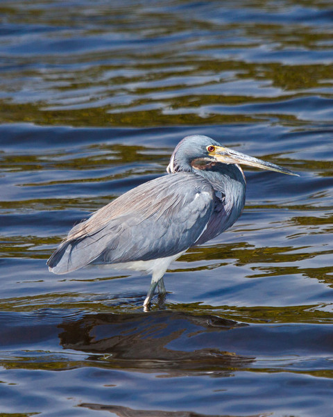 Tricolor heron, Merritt Island