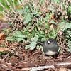 Black eyed junco